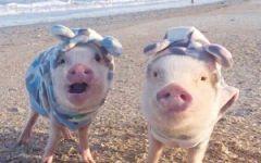 搞笑猪的图片可爱图片