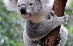 可爱图片动物考拉