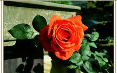 玫瑰月季花微信头像