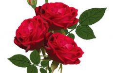 红色花朵微信头像图片大全