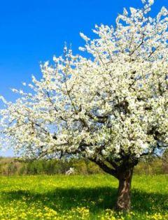 梨花风景图片唯美浪漫