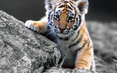 老虎图片大全可爱图片