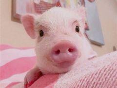 猪猪头像可爱图片大全