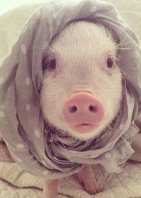 宠物猪猪头像可爱图片大全