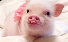 粉色猪头像可爱图片