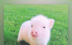 小猪可爱图片手机壁纸