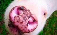 微信猪猪图片可爱图片