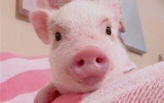 猪猪的图片可爱图片