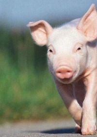 可爱小猪照片