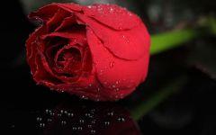 玫瑰伤感图片黑白
