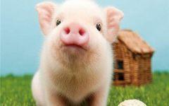 猪可爱萌图片