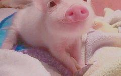 超可爱小猪图片
