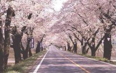 樱花街道唯美图片
