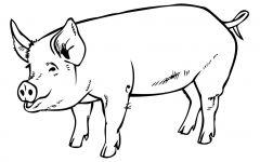 猪绘画简单