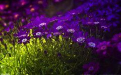 紫色花浪漫图片