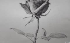 素描植物画