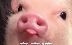 猪猪图片表情包
