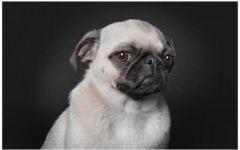 狗郁闷表情图片