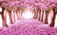 唯美的浪漫樱花图片