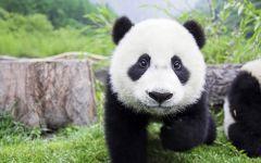 熊猫唯美图片