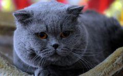 蓝猫唯美图片