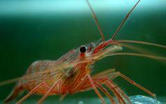 小虾可爱图片