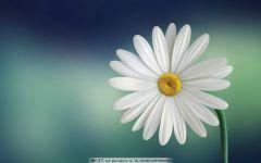 雏菊唯美图片