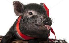 可爱小黑猪图片
