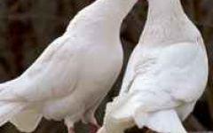 情侣头像鸽子图片