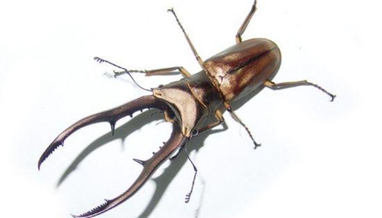 锹甲虫简笔画