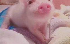 猪猪可爱图像
